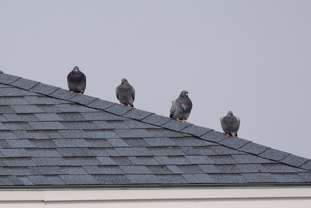 pigeons on the roof.jpg