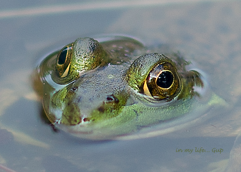 Frog puddle wm 800 2793.jpg