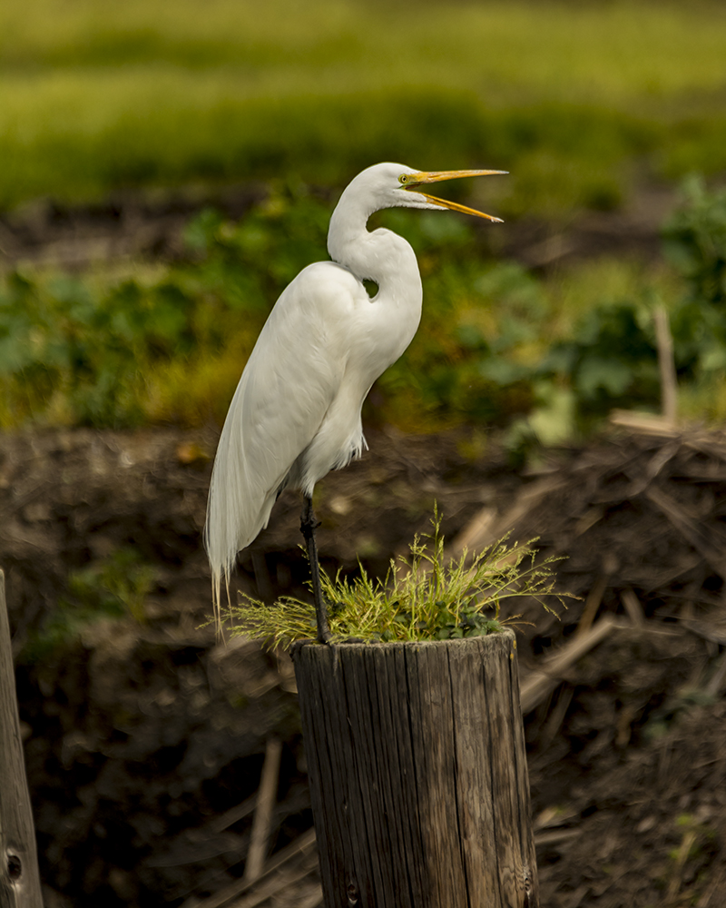 Egret on Post with beak open.jpg