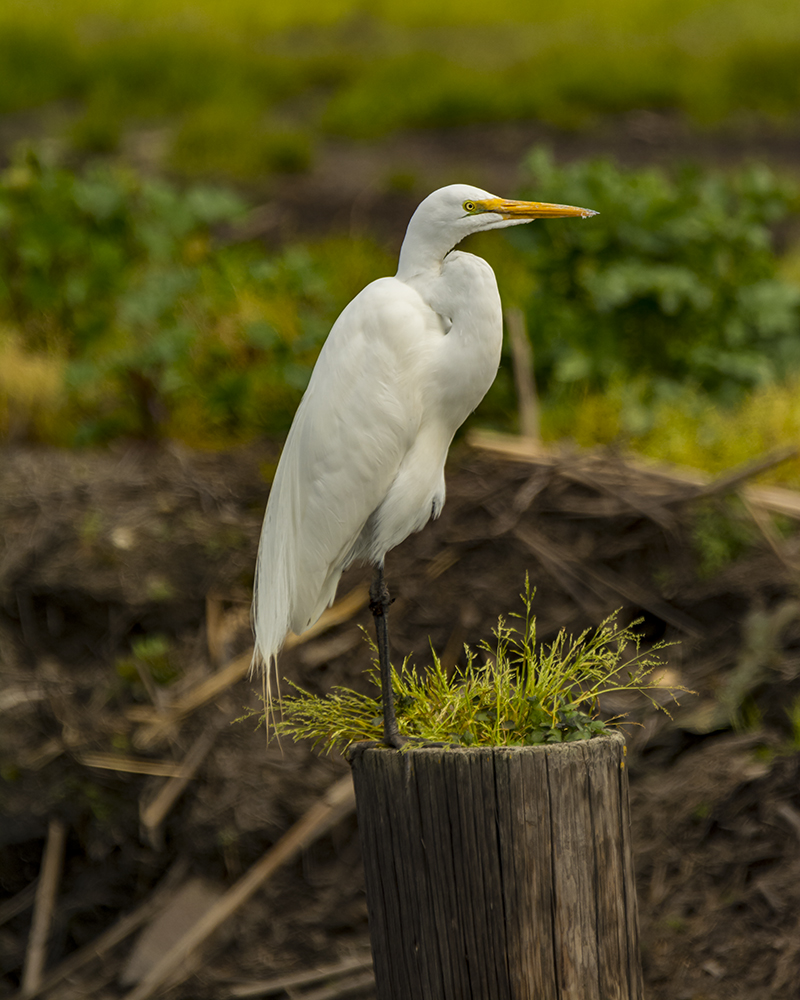 Egret on Post.jpg