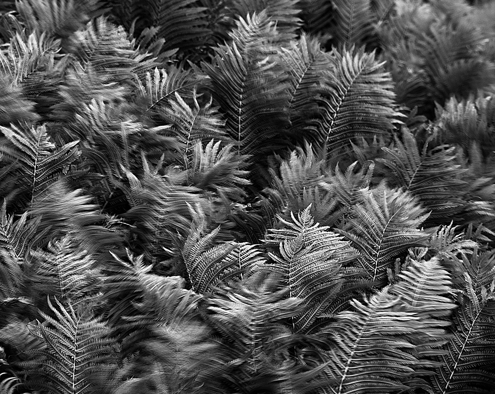 DSC_3246_07062009_087 Ferns in wind BW WEB.jpg