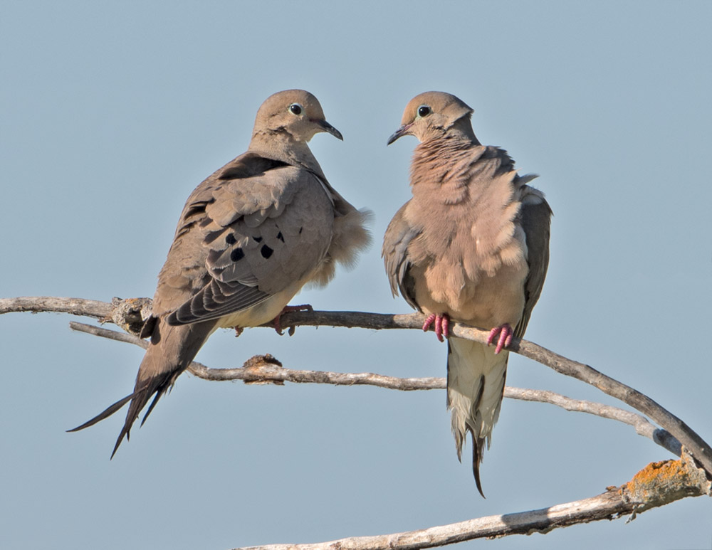 MourningDoves_4518.jpg