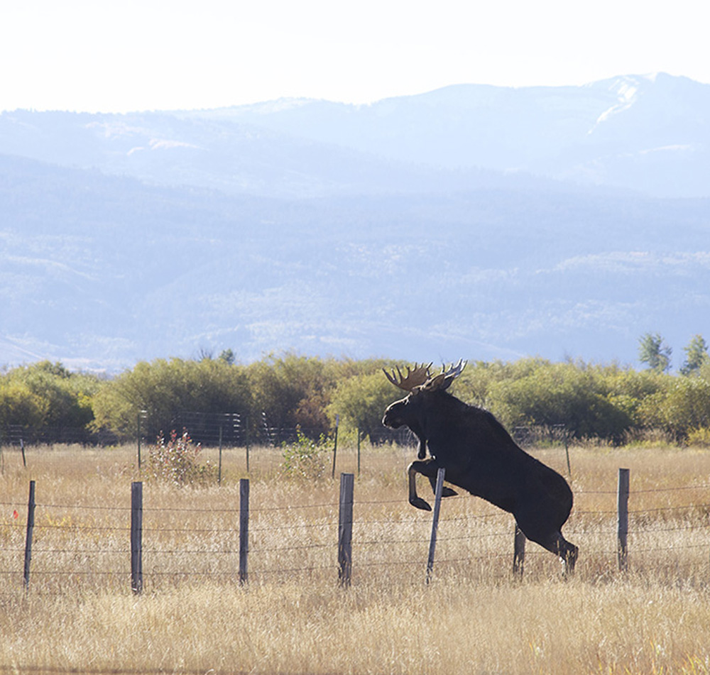 moose jumping fence s+.jpg