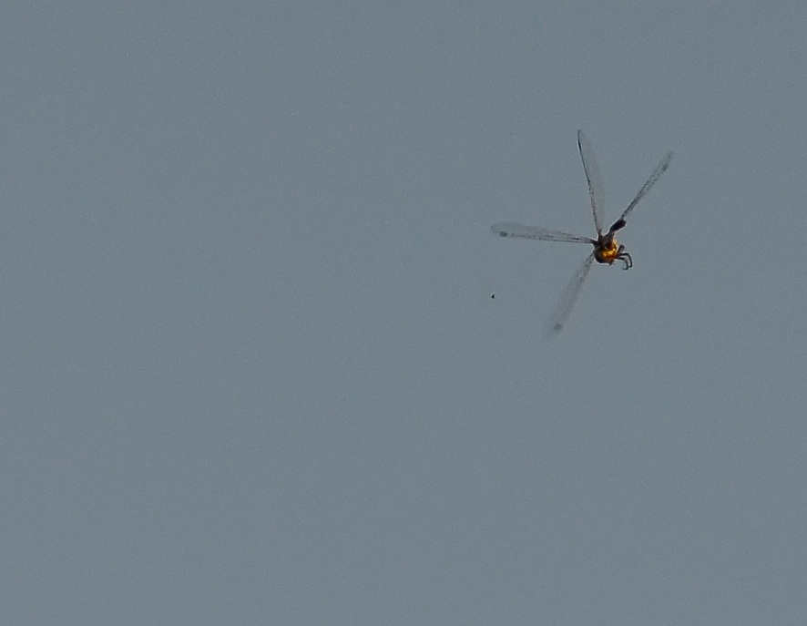 Dragonfly and prey 886 7640.jpg