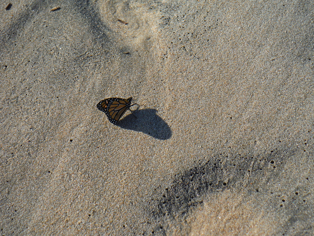 butterfly on beach.jpg