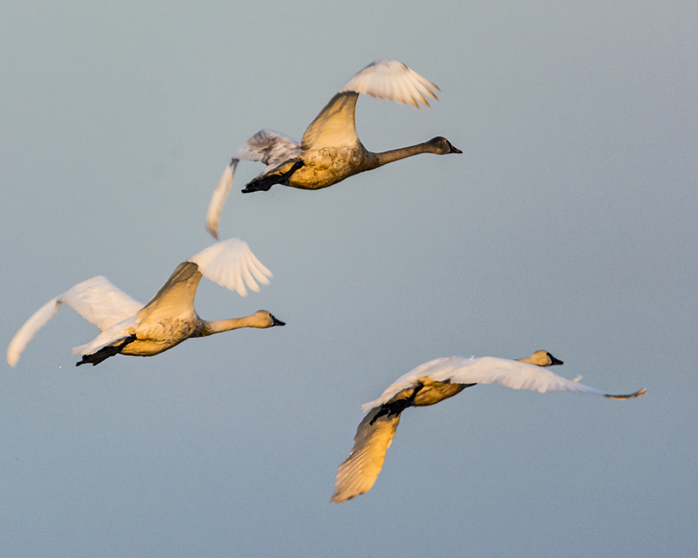 Tundra Swans in Flight Staten Island Dec 8 2017.jpg
