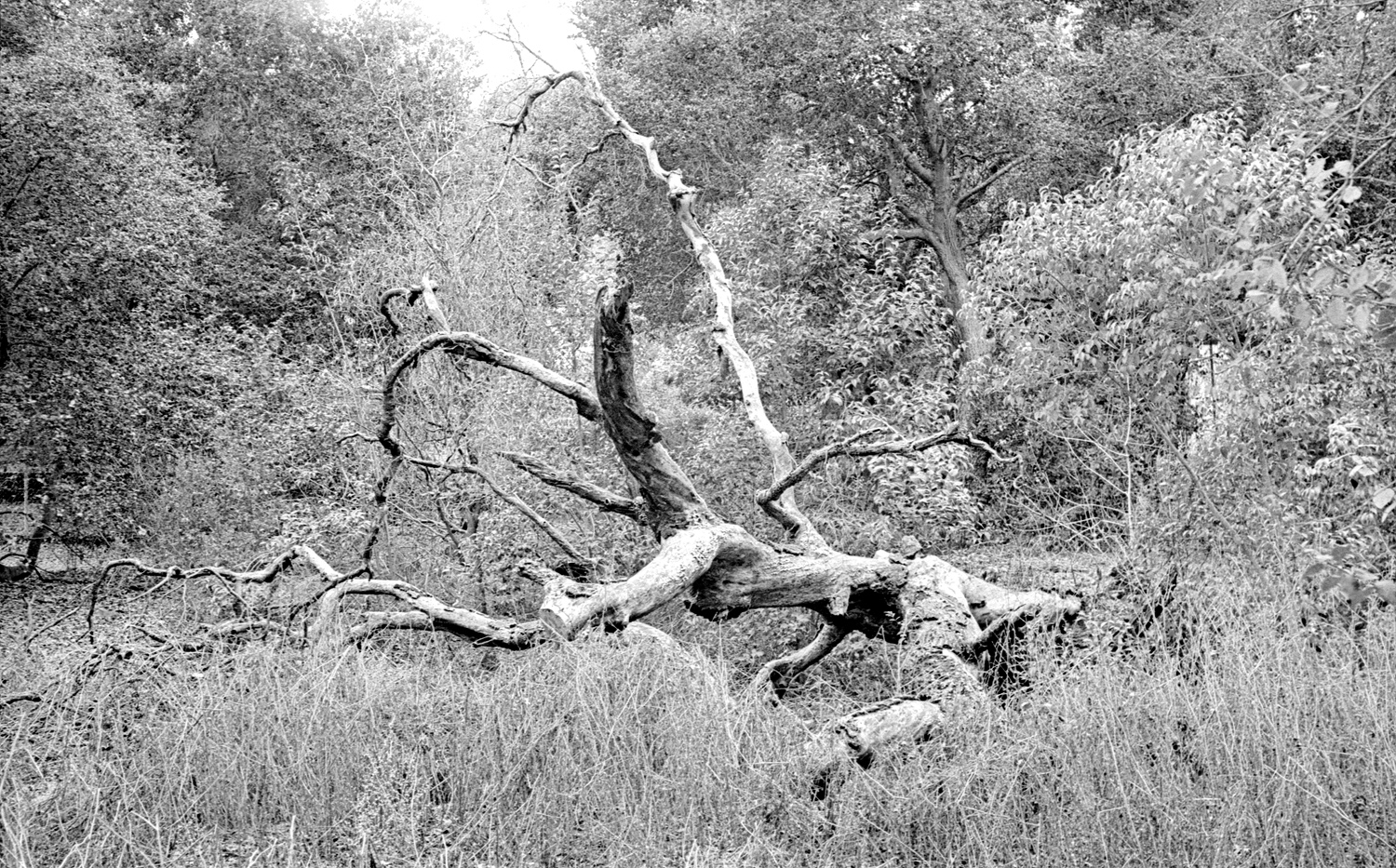 Fed2 183 Jupiter8 XX PyrocatHD dead tree.jpg