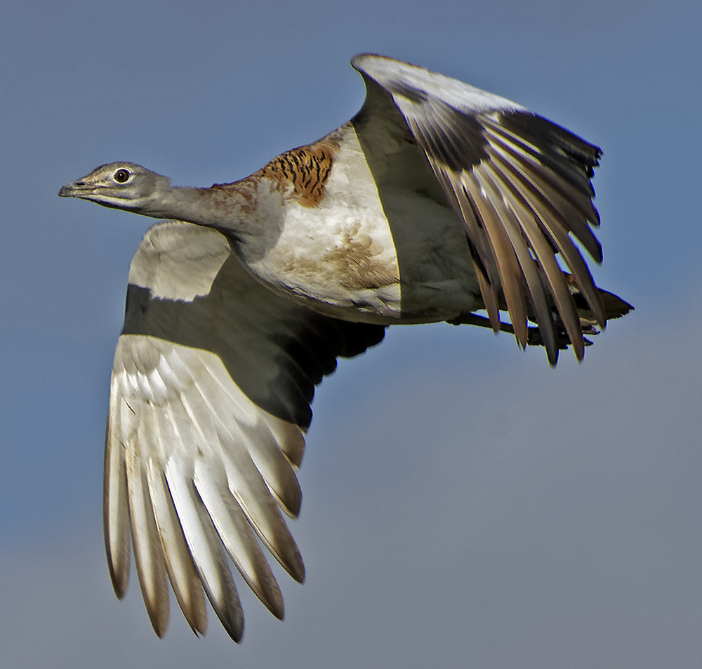 Great Bustard.jpg