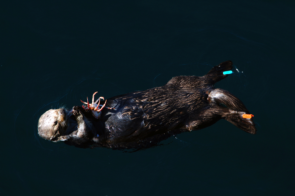 Monterey Bay - Sea Otter 2.jpg