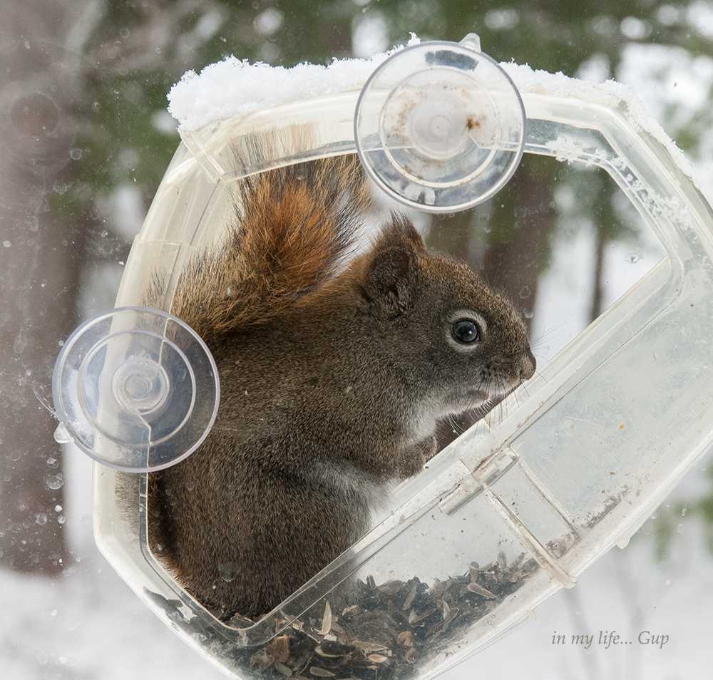 Squirrel window feeder wm 1000 1433.jpg