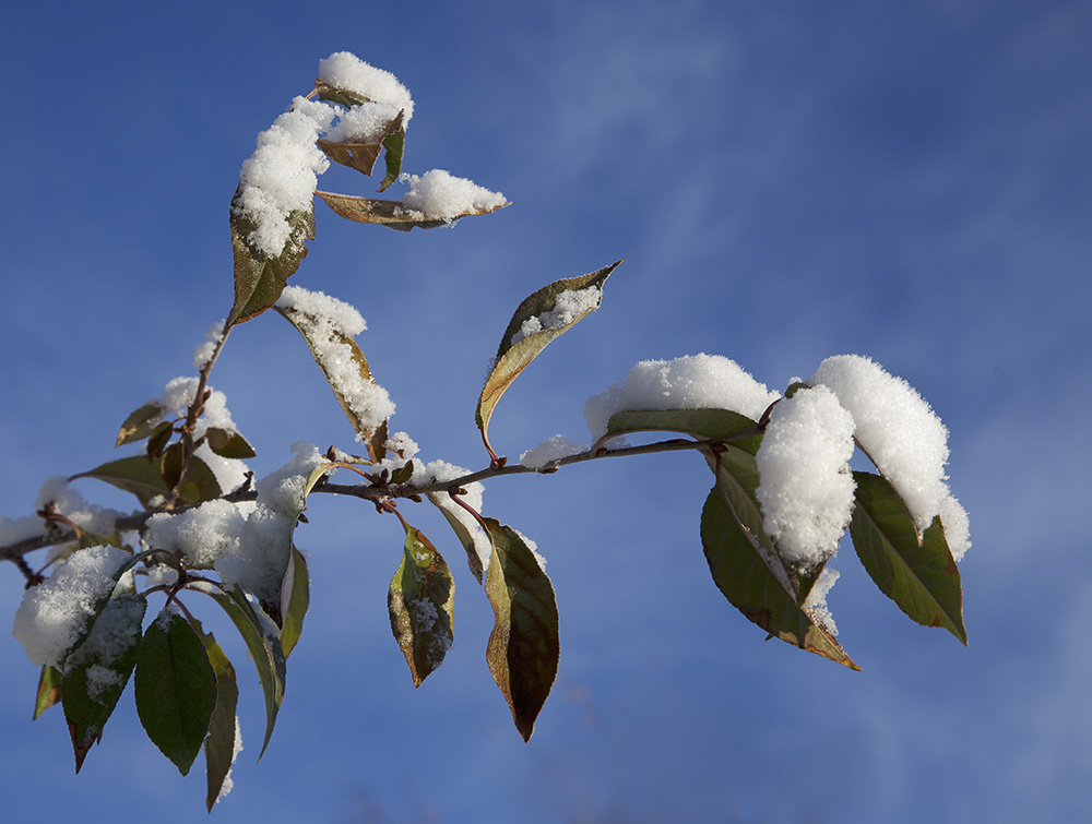 snow on leaves s.jpg