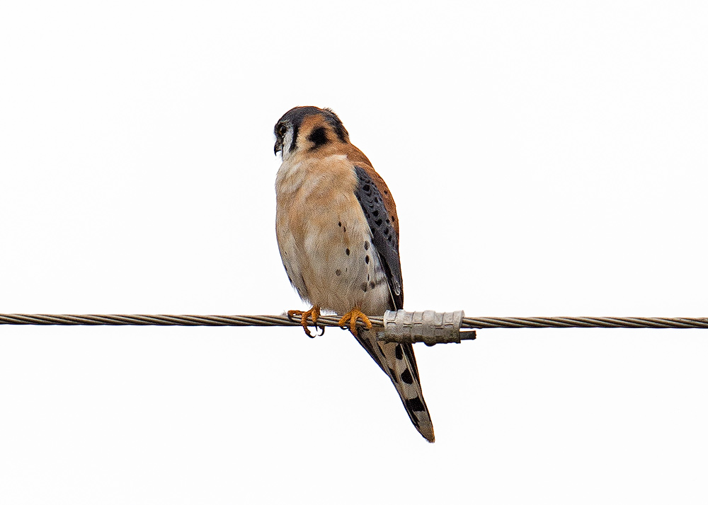 American-Kestrel_0997-copy.jpg