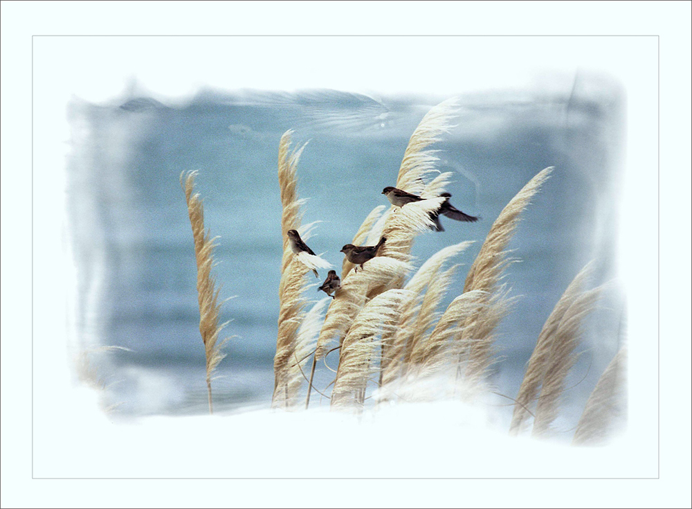 Sparrows inthe Wind Ext copy.jpg