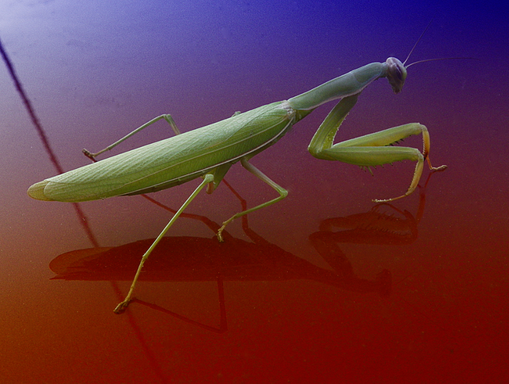 praying mantis colors s.jpg