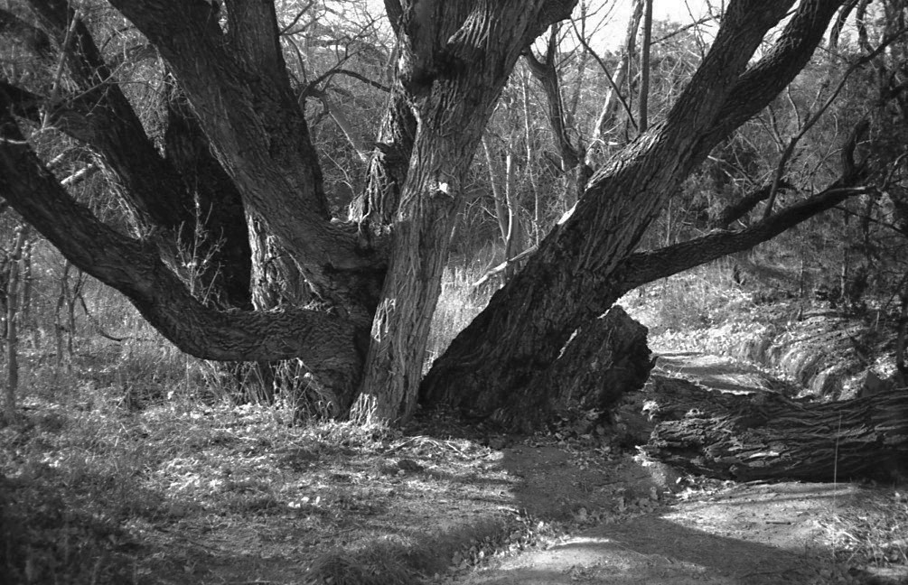 Twisted Tree, FED 50.jpg