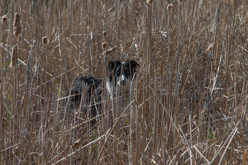 lily in reeds.jpg