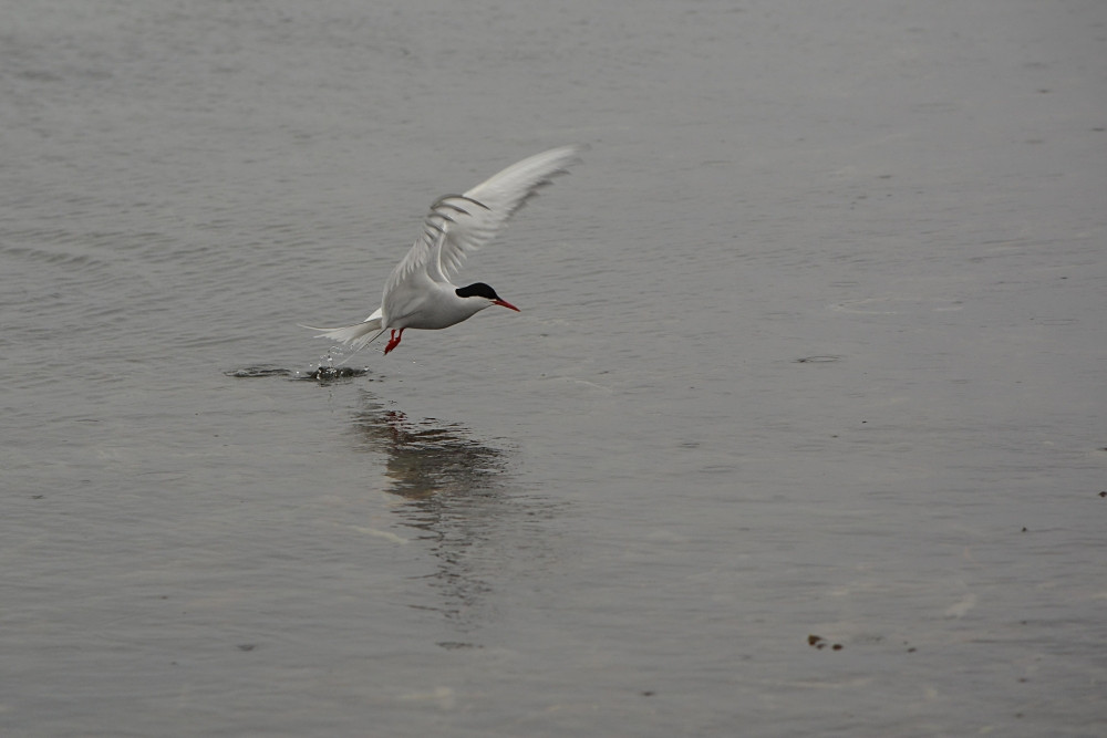 fishing tern.jpg