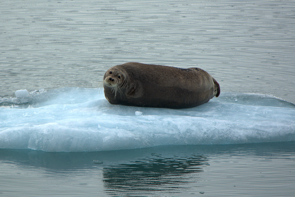 bearded seal 1000.jpg