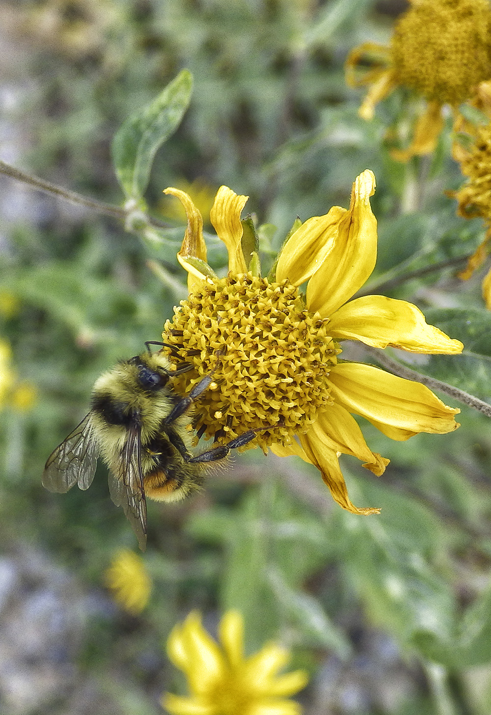 bee on sunflower s.jpg