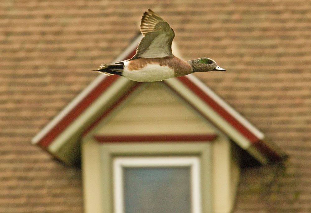 Flying Wigeon for pnet.jpg