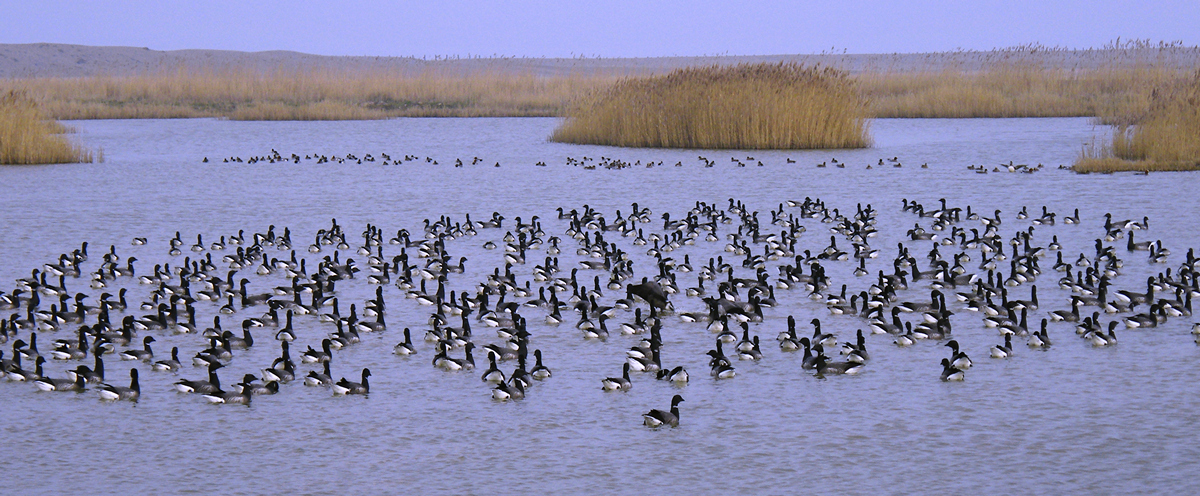 DSCF0723 - Brent Geese at Cley 001.JPG