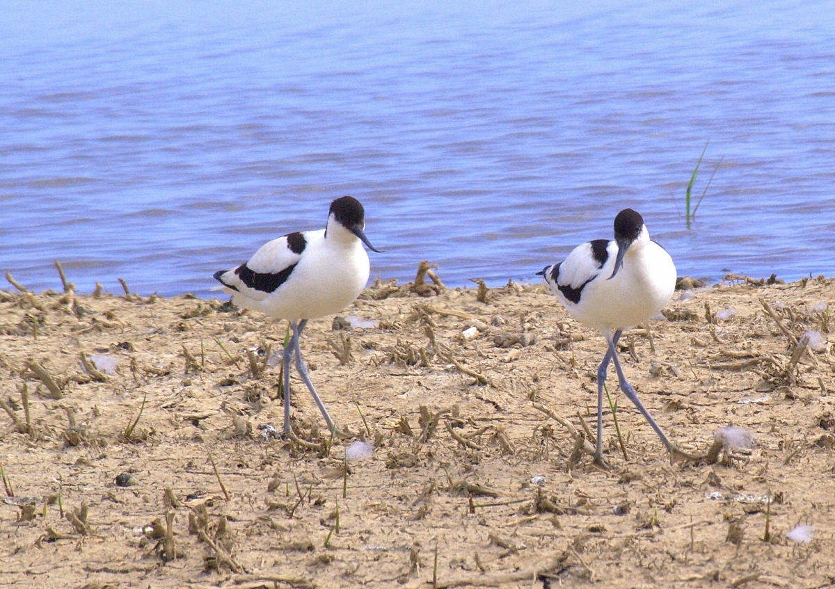 Cley - 002 - Avocet cross-step.jpg
