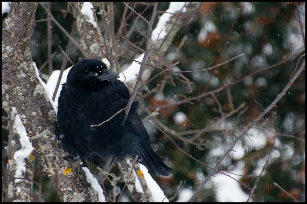 Crow in the snow.jpg