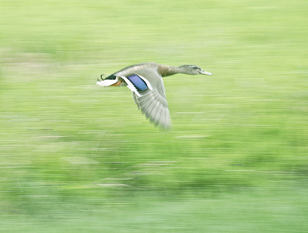 hawaiian duck flying.jpg