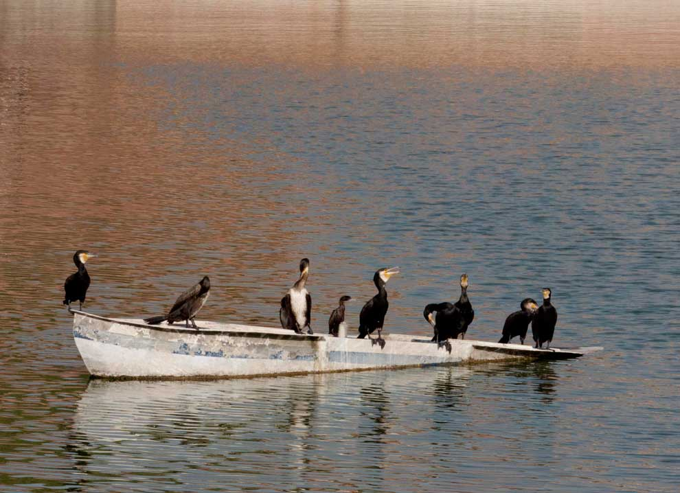 India-Jodhpur-re-Little-Cormorant.jpg