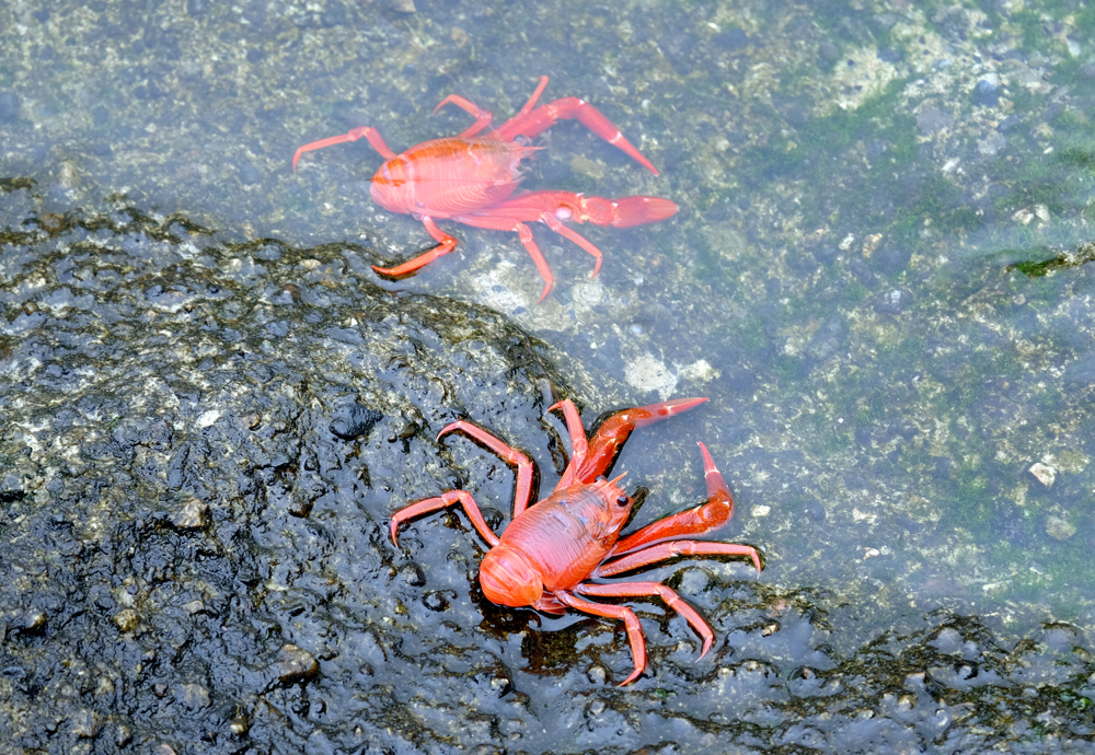 Monterey Bay 16b_Red Crab_1.jpg