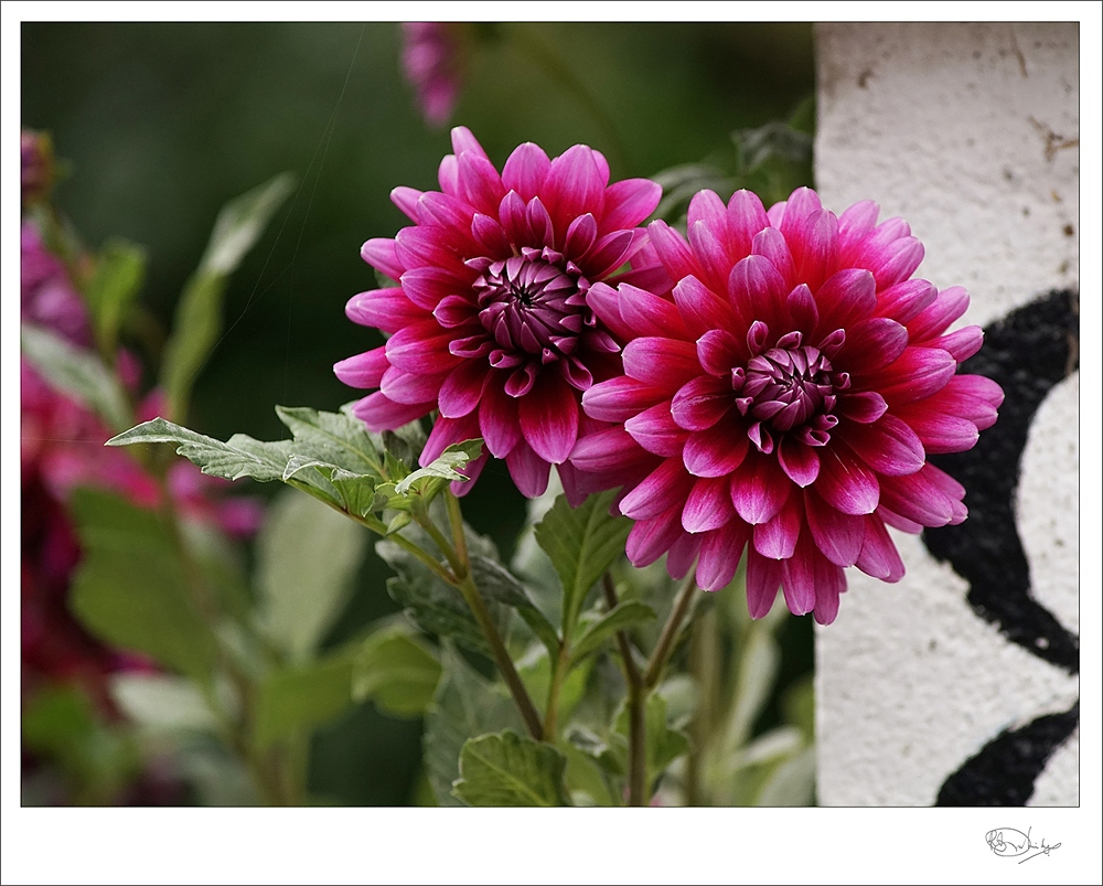 Autumn Dahlias copy.jpg
