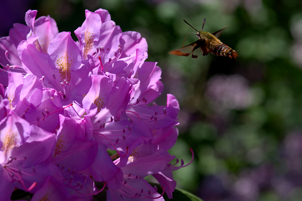 hummoth to rhododendron.jpg