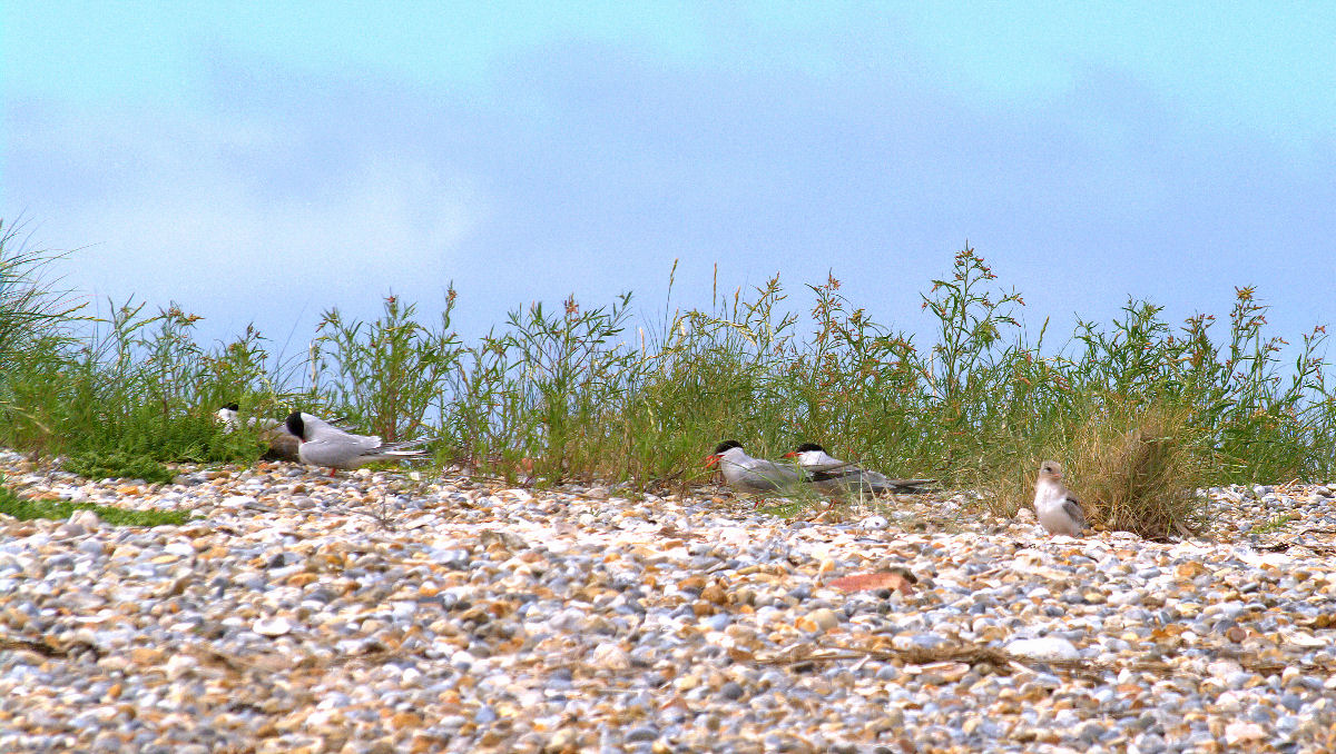 09-100_1307 - TONY0170 001 - Common Terns with young.jpg
