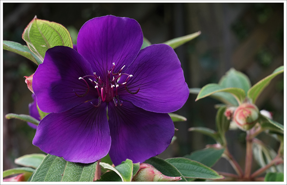Tibouchina #2 copy.jpg
