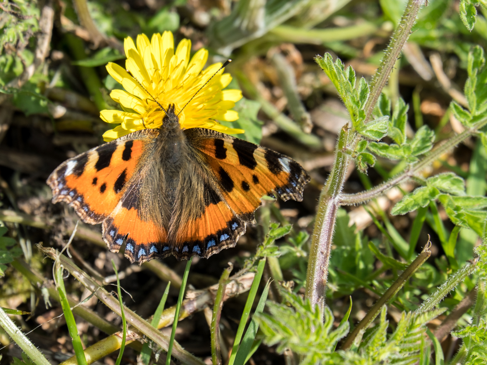 SmallTortoiseshell_F3529-601 (1 of 1).jpg