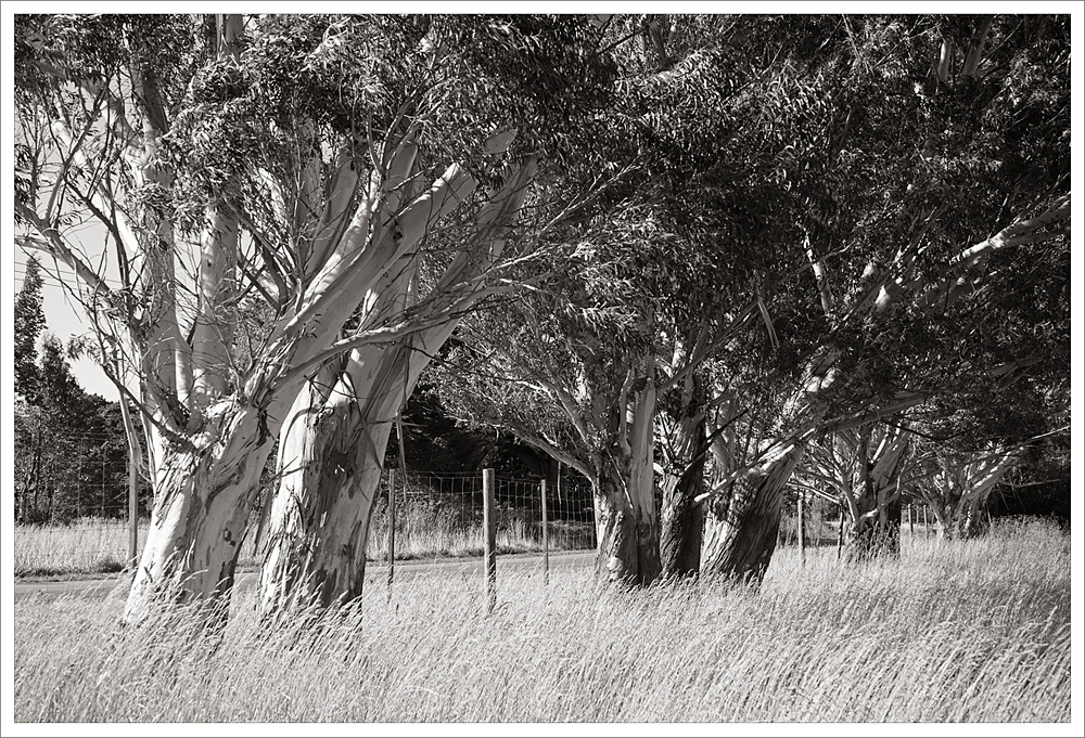 Wind and the Eucalypts copy.jpg
