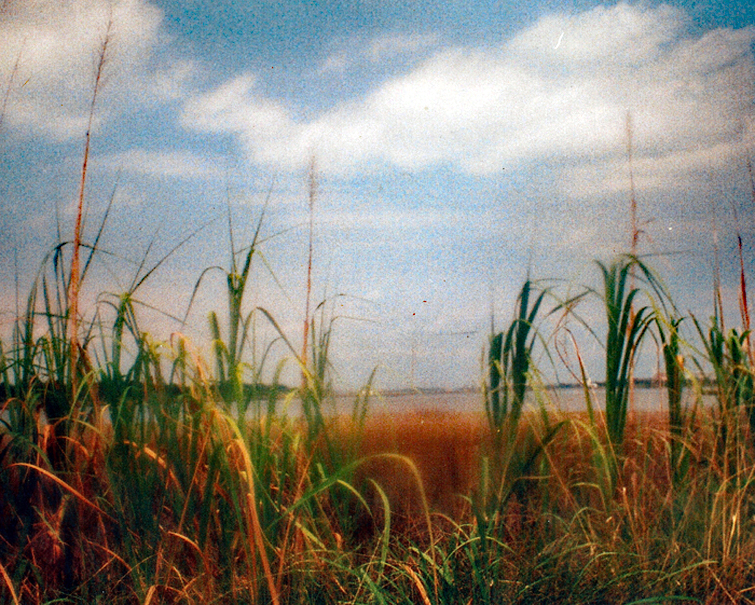 north carolina reeds 1000.jpg