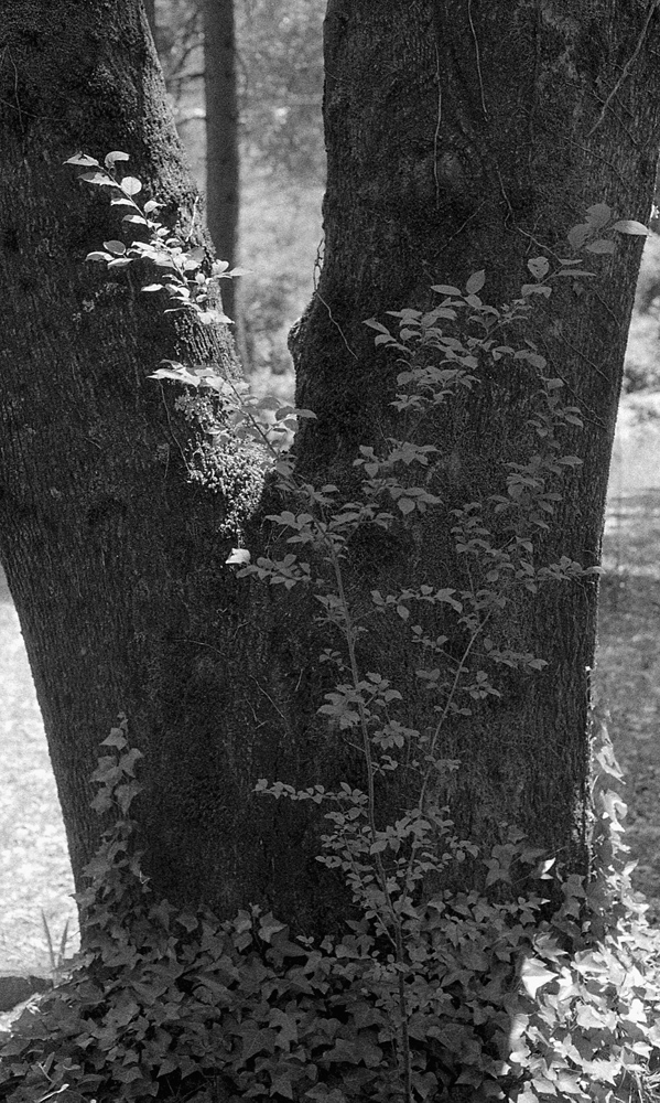 black AE1 Delta 3200 at 1600 TMax 1-4 forked tree 2.jpg