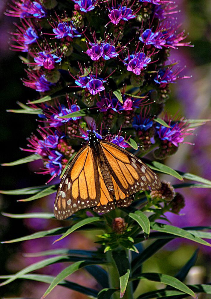 Pacific Grove - Butterfly.jpg
