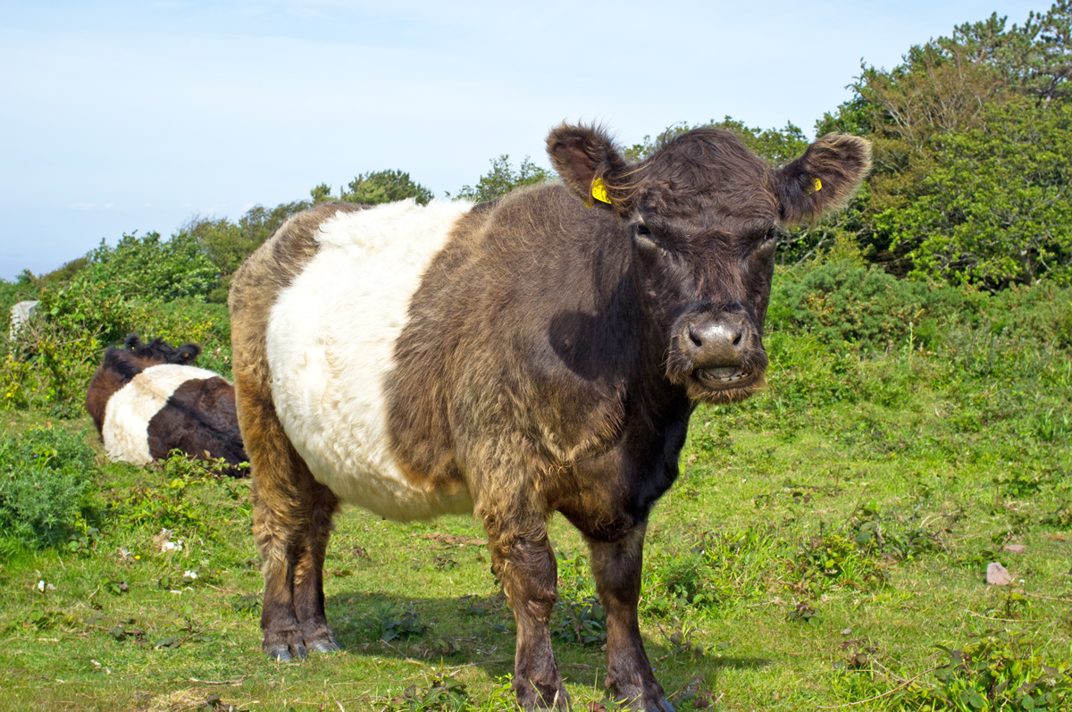 Animal cow2-web.jpg