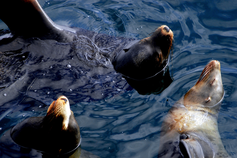 Monterey Bay - Three Sea Lions.jpg