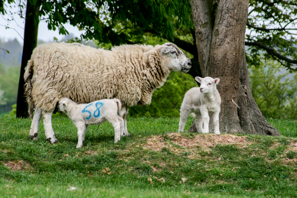 SheepWithLambs_C1144-119 (1 of 1).jpg