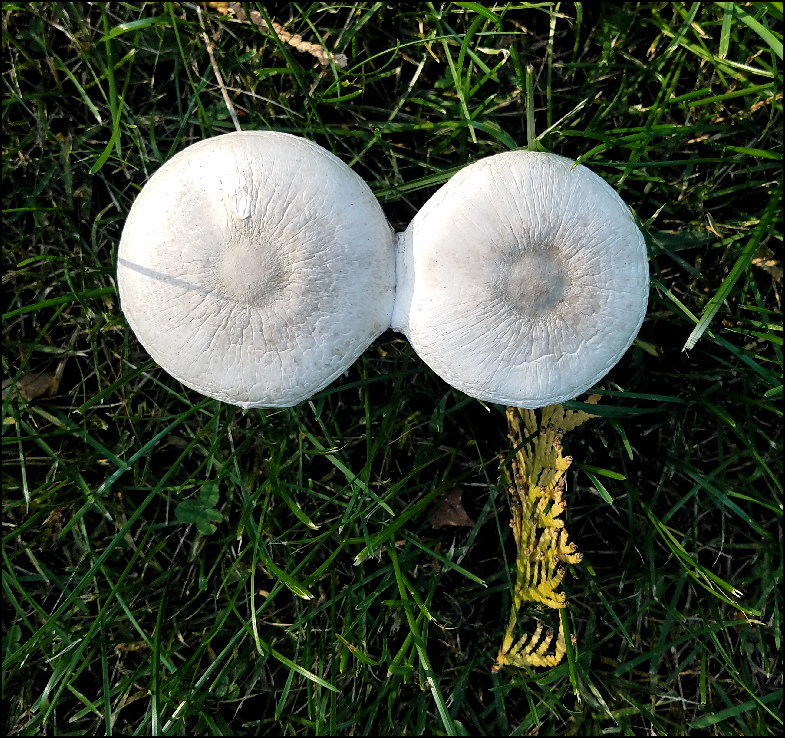 siamese mushrooms x1000.jpg