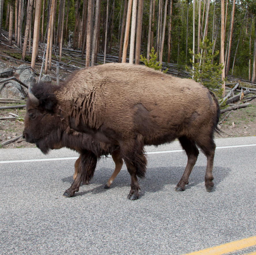 WY-Yellowstone--Bison-on-road.jpg
