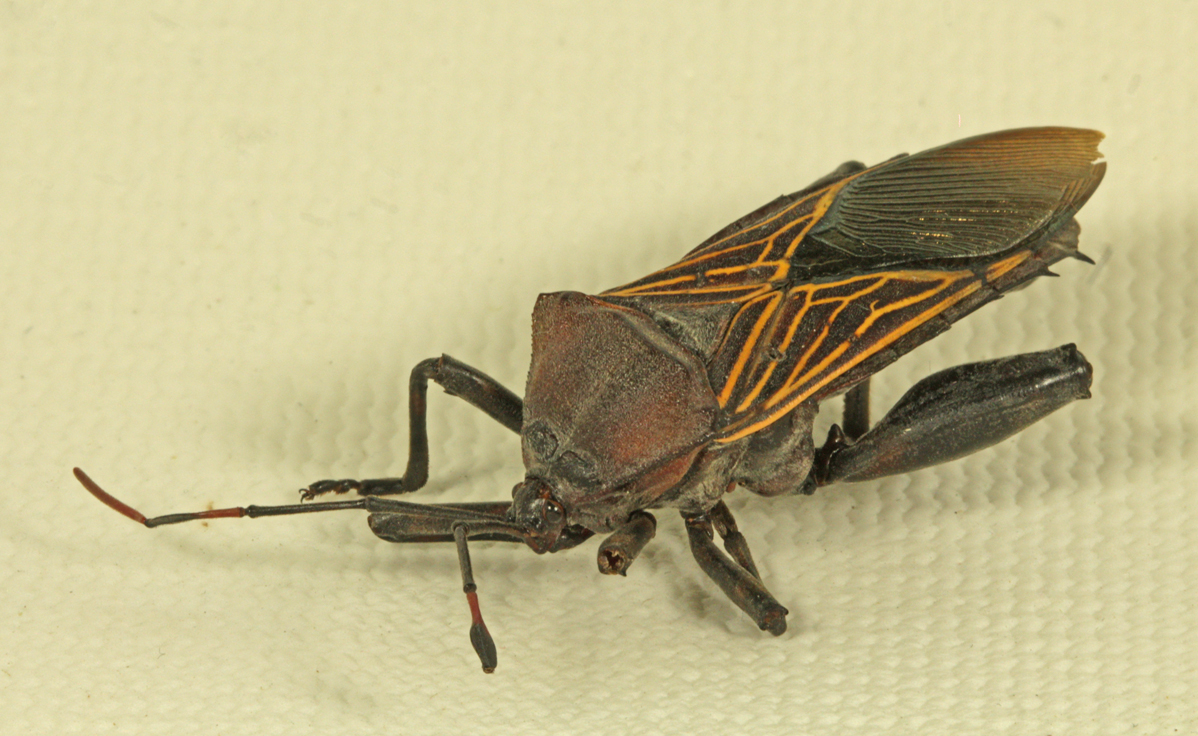 Fosd Bug- ZS DMap-reduced-cropped.jpg