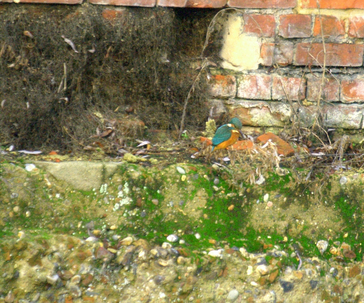 TONY0083 - Kingfisher 002.jpg