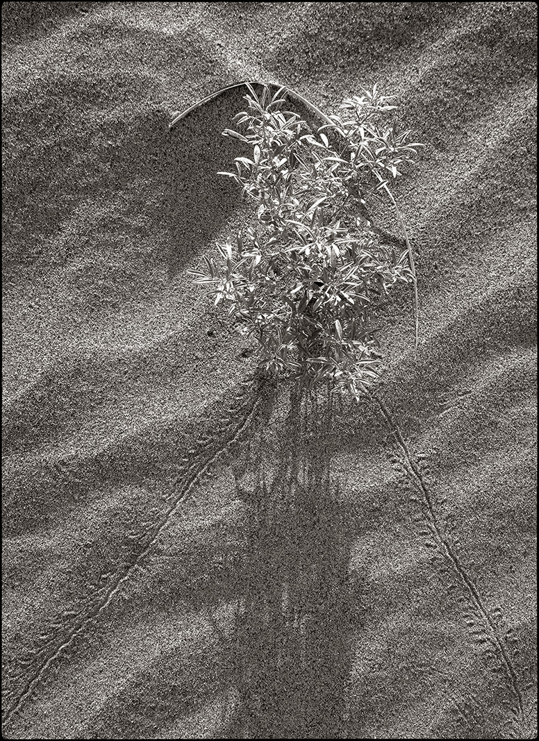 pland and insect tracks on dune BW.jpg