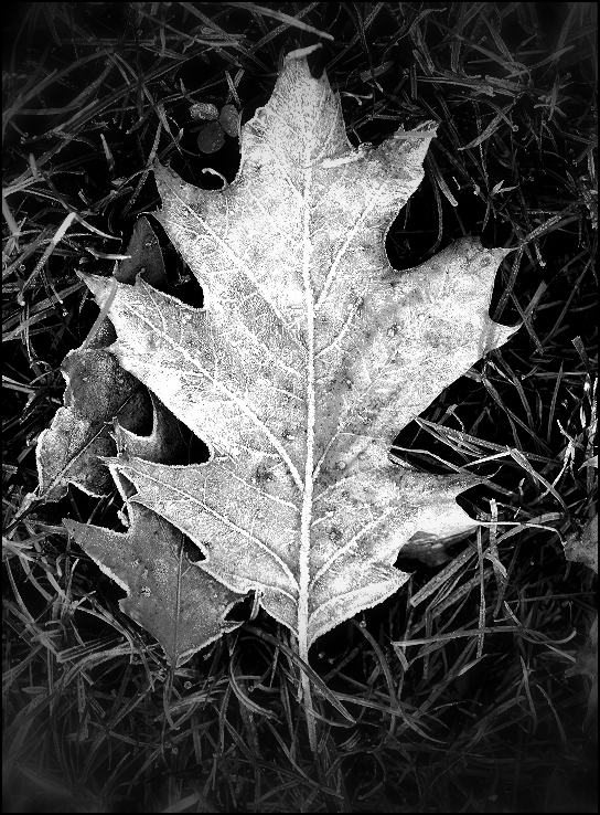 frosted leaf x1000.JPG