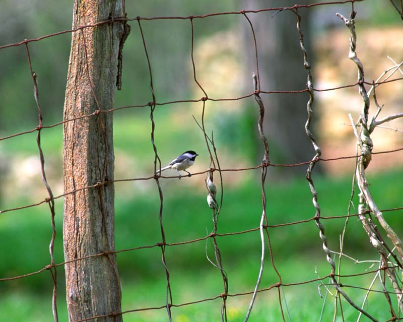 020414_bird_on_fence_15-04.jpg