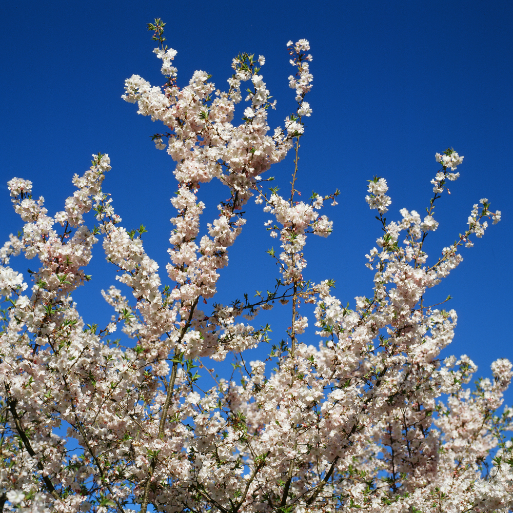 Cherry Tree For Instagram.jpg